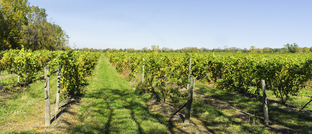 Vineyard in the summer